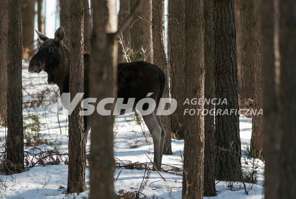 04.03.2013 Biebrzanski Park Narodowy N/z los (Alces alces) w lesie fot Michal Kosc / AGENCJA WSCHOD