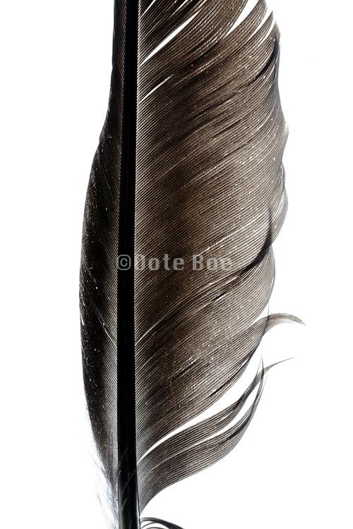close up of a black bird feather