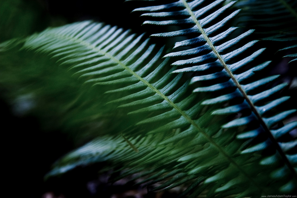 In the shade of the great costal Redwoods, ferns are one of the few plants able to thrive.