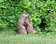 Young Groundhog connecting with Mom