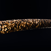 This is a tube-like home of a marine polychaete worm in the Pectinariidae family, commonly known as trumpet worms or ice cream cone worms. These worms construct their homes by fitting and gluing together grains of sand. The walls of their home typically comprise a single layer of sand. The head of the worm is situated at the wider end (2cm in diameter in this case) of the tube, which faces down into sediment, with the narrower end protruding above the sediment. The worms forage in the sediment, digging through sand, mud and silt with strong gold-colored spines (setae) while using tentacles to sort through the materials. The worms digest organic particles and excrete pseudofaeces, a stream of undigested inorganic matter wrapped in mucous. This worm hole measured 9cm in length.