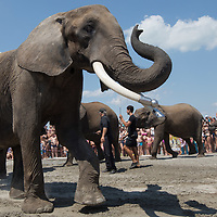 Elephant bath in Lake Balaton