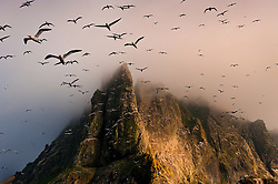 Gannets nesting on Boreray in St. Kilda, islands of the Outer Hebrides of Scotland. Tens of thousands of Gannets nest here in this remote Atlantic archipelago, a double UNESCO World Heritage site for natural heritage and its cultural history. St. Kilda was abandoned in 1930 when the last full-time residents gave up living in these isolated islands. <br /> <br /> Bio: National Geographic photographer Jim Richardson has been a regular contributor to the magazine for 35 years. First recognized for his documentary photography of rural life, Richardson now focuses on environmental and cultural issues, including problems of food and agriculture and their impact on the biosphere, wild and scenic areas of Scotland, and his native Great Plains of North America. As a speaker he lectures internationally on the problem of feeding Planet Earth. Among other awards his National Geographic colleagues named him their Photographer's Photographer. He was also named Honored Citizen of Cuba, Kansas, the town whose residents he has photographed for forty years. <br /> <br /> WEBSITE: JimRichardsonPhotography.com<br /> Instagram: @JimRichardsonNG
