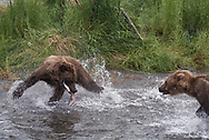 A subadult brown bear plays keep away from another subadult with a salmon it just caught in the Brooks River, Alaska