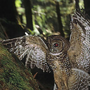 Spotted Owl, (Strix occidentalis) In the old growth forest of Olympic National Forest, in flight. Washington. Captive Animal.