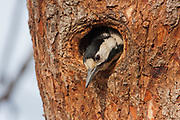 Female Syrian Woodpecker (Dendrocopos syriacus) The Syrian Woodpecker is a resident breeding bird from southeastern Europe east to Iran. Its range has expanded further northwest into Europe in recent years. Syrian Woodpecker is 23–25 cm long, and is very similar to the Great Spotted Woodpecker, Dendrocopos major. Photographed in Israel