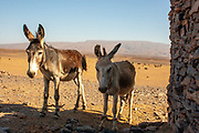 two donkeys in a Remote, rural village in Morocco