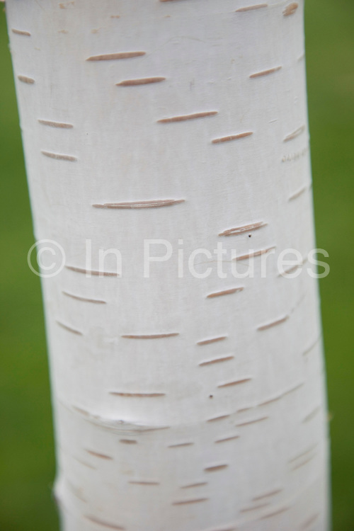 Silver Birch tree trunk bark. It is a medium-sized deciduous tree, typically reaching 15–25 m tall (exceptionally up to 39m), with a slender trunk usually under 40 cm diameter (exceptionally to 1m diameter), and a crown of arched branches with drooping branchlets. The bark is white, often with black diamond-shaped marks or larger patches, particularly at the base.