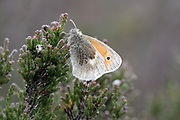 Large Heath Butterfly, Coenonympha tullia, resting on heather, UK