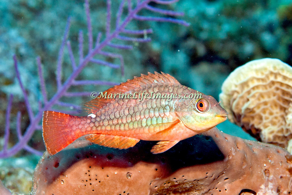 Redband Parrotfish swim about reefs and adjacent areas scrapping filamenmtous algae from hard substrates in Tropical West Atlantic; picture taken Grand Turk.