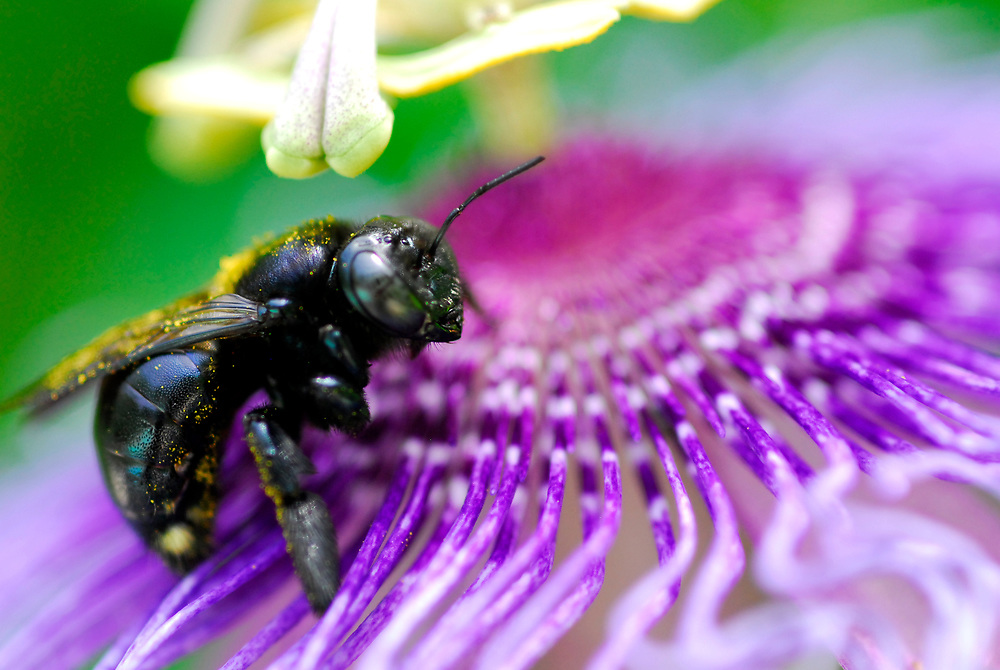 Passiflora, passion vine and bumble bee, back yard garden, Houston, Texas