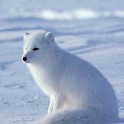 Arctic Fox (Alopex lagopus) Portrait of fox on frozen ice pack of Churchill, Manitoba. Canada. Winter.