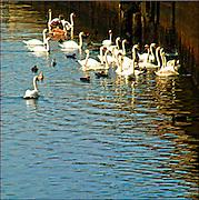 Swans / Catalog #220