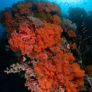 Plush Dendronephthya orange soft corals at Sahaung 1 dive site at Bangka Island, North Sulawesi, Indonesia