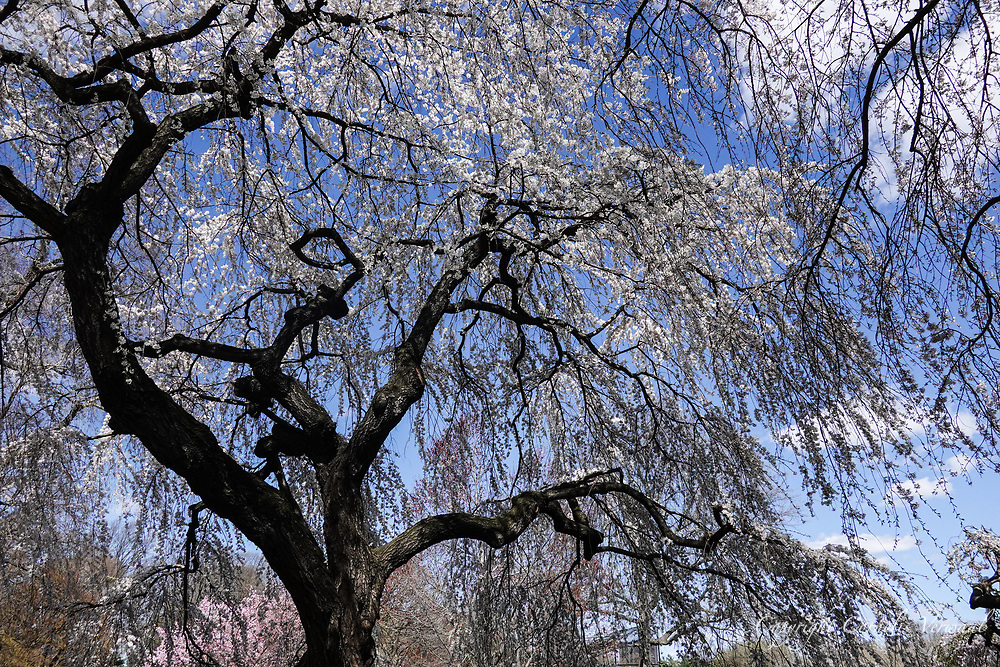 Weeping Higan Cherry tree at the Great Lawn in Central Park in full bloom