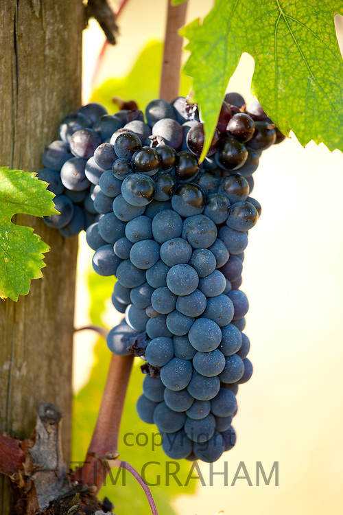 Brunello grapes, Sangiovese, growing on vine at the wine estate of La Fornace at Montalcino in Val D'Orcia, Tuscany, Italy