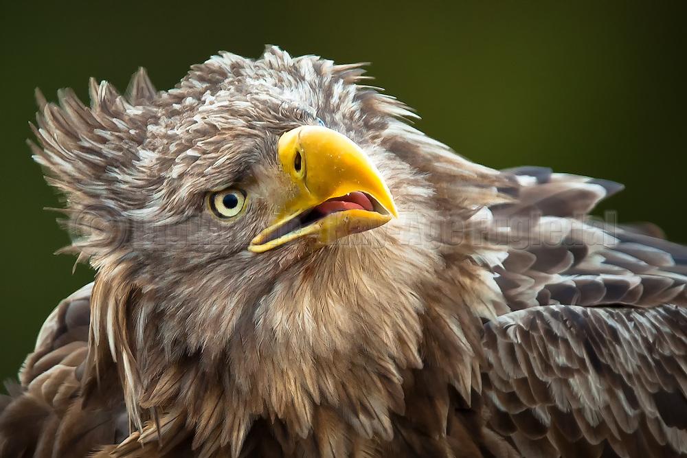 Nærportrett av Havørn   Closeup portrait of White-tailed Eagle