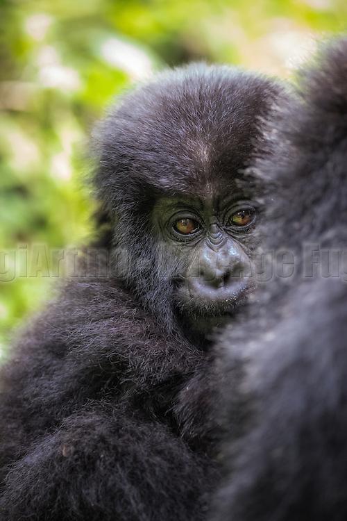 This picture was captured during gorilla trekking in Rwanda. This baby seemed to be a bit shy, and were hiding behind mamma   Dette bildet tok jeg under en gorillasafari i Rwanda. Denne babyen virket litt sky, og trivdes best bak ryggen på sin mor.