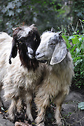 India, Himachal Pradesh, two loving goats