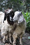 India, Himachal Pradesh, two loving goats