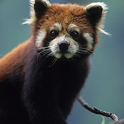 Red Panda portrait at the Wolong Nature Reserve in Sichuan, China. Captive Animal
