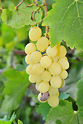 grapes on a grapevine