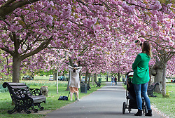 © Licensed to London News Pictures. 10/04/2017. Greenwich, UK. People continue to enjoy the popular avenue of cherry blossom in Greenwich Park, south east London. Photo credit : Rob Powell/LNP