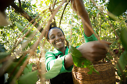 Fatima Sheikh Jamal picks coffee on her small plantation in Jimma, Ethiopia.