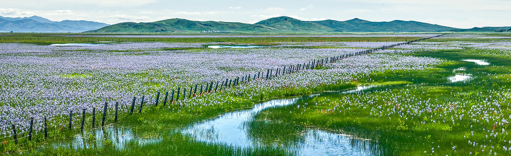 Camas flowers abound in wetlands area near Hill City on the Camas Prairie in Southwest Idaho flowers bulb was used by Bannock and Shoshone Native American Indians as a food  staple and was havested annually