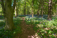 Footpath through the Bluebells at Stoke Woods, Bicester, Oxfordshire owned by the Woodland Trust