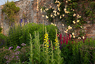 Verbascum phlomoides and Lupinus in the  Herbaceous Border at Waterperry Gardens, Waterperry, Wheatley, Oxfordshire, UK