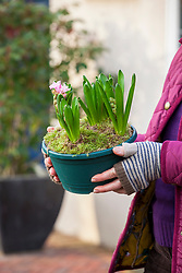 Bringing a forced Christmas flowering bulb indoors (hyacinth) to bring into flower.