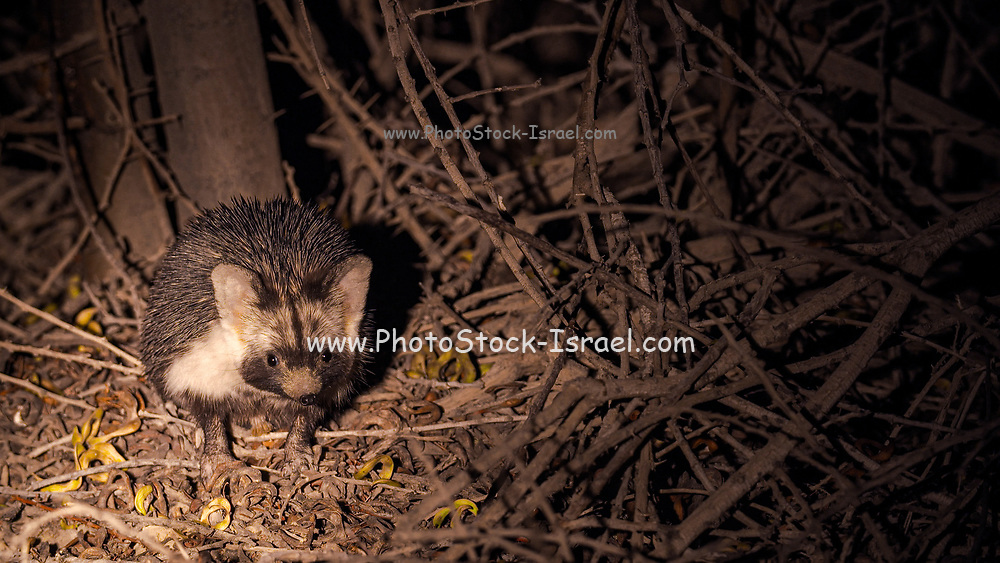 night shot of a Desert Hedgehog or Ethiopian Hedgehog (Paraechinus aethiopicus) photographed in the desert in Israel. This hedgehog is an omnivore and has been known to eat a wide range of invertebrates, but prefers earthworms, slugs and snails. It will also eat frogs, small reptiles, young birds and mice, carrion, bird eggs, acorns and berries. it is mainly a nocturnal animal
