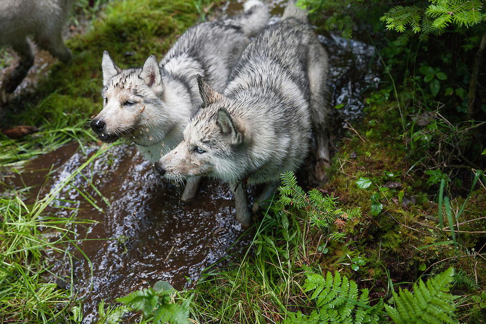 Two Siberian Husky dogs playing in the mud