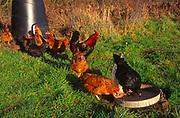 A293J0 Free range chickens pecking in grassy garden