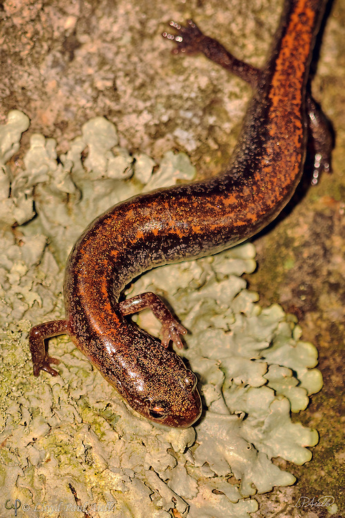 An Eastern Red-backed Salamander (Plethoon cinereus) walks across a granite rock covered by lichen.  This small salamander is found throughout the northeast United States.  It is lungless, and breathes through its moist skin. Unlike many salamanders, it spends its entire life on land, and lays its eggs on the moist forest floor. The young skip the typical aquatic stage and emerge as tiny terrestrial salamanders.