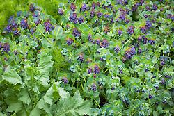 Cerinthe major 'Purpurascens' (honeywort) with poppy foliage