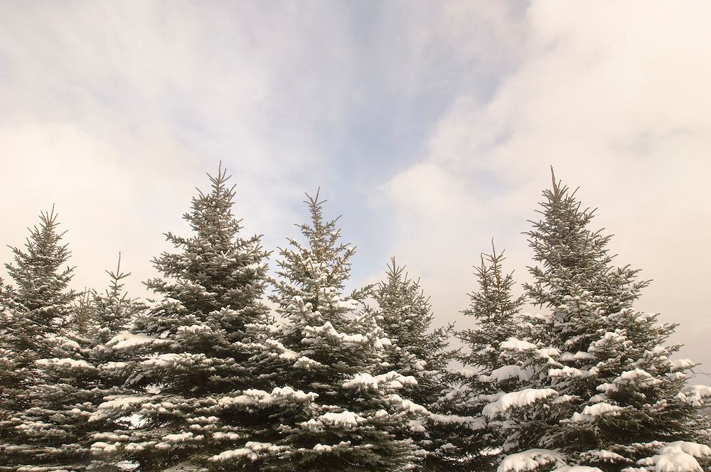 Spruce trees covered in snow following a lake effect snowstorm in Michigan's Upper Peninsula.