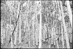Stand of Aspens. Along Rt 12, Dixie National Forest, Utah. B&W Film Original, 1973