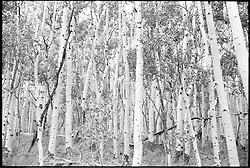 Stand of Aspens. Along Rt 12, Dixie National Forest, Utah. B&W Film Original, 1973