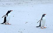 Two Gentoo Peuguins (Pygoscelis papua) walk across the white sand of Leopard Bay to the sea. Carcass Island, Falkland Islands. 15Feb16