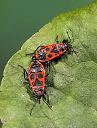 Fire Bugs mating - Pyrrhocoris apterus