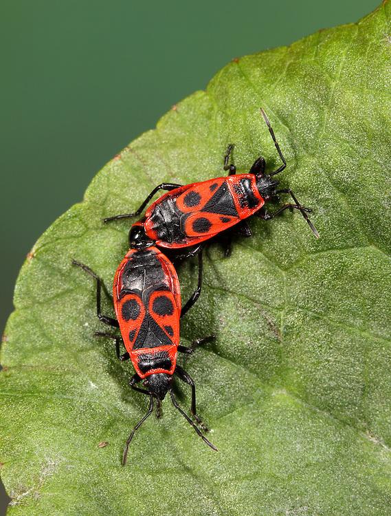 Fire Bugs mating - Pyrrhocoris apterus