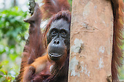 A close-up portrait of a female orangutan (Pongo pymaeus) leaning out from behind a tree limb, Tanjung Puting National Park, Central Kalimantan, Borneo, Indonesia