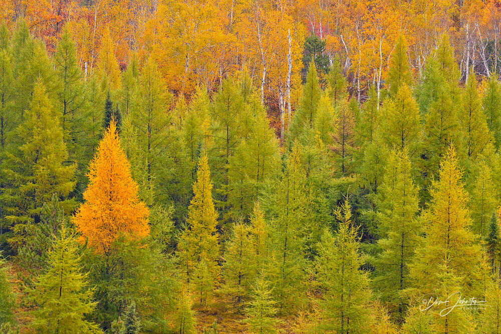 Autumn forest of larch, aspen and birch from a high viewpoint, Greater Sudbury, Ontario, Canada
