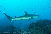 A Galapagos Shark, Carcharhinus galapagensis, patrols the rocky shallows of Wolf Island, Galapagos, Ecuador.