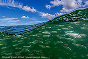A school or shoal of White Mullet, Mugil curema, surfs a wave offshore Singer Island, Florida, United States Image available as a premium quality aluminum print ready to hang.