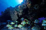 diver and porkfish ( grunts ), <br /> Anisotremus virginicus, Santa Rosa Reef, <br /> Cozumel, Mexico, ( Caribbean Sea )  MR 117