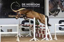 013, Wajeeh Royale S van Prinsenhof's<br /> Hengstenkeuring Brp- Azelhof - Lier  2021<br /> © Hippo Foto - Dirk Caremans<br /> 14/04/2021