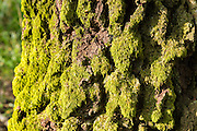 Tree moss Brachythecium rutabulum of the group Bryophyta on ancient tree in spring / summer at Bruern Wood in UK